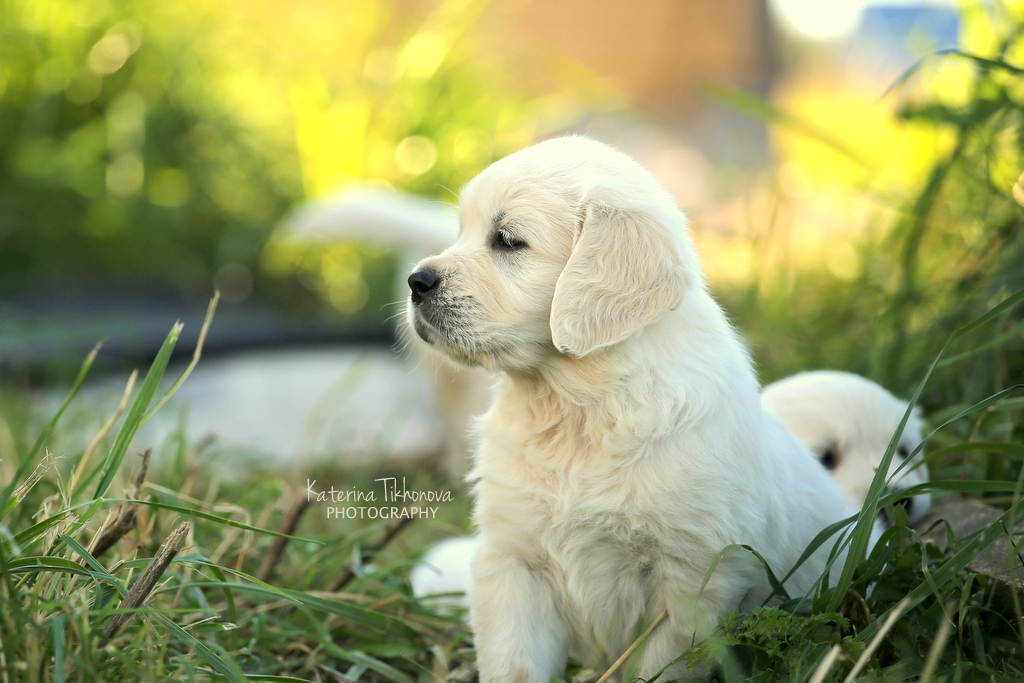 Фотосъемка щенков в Спб.